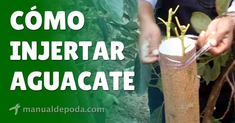 Cómo Injertar Aguacate【Guía 2021】