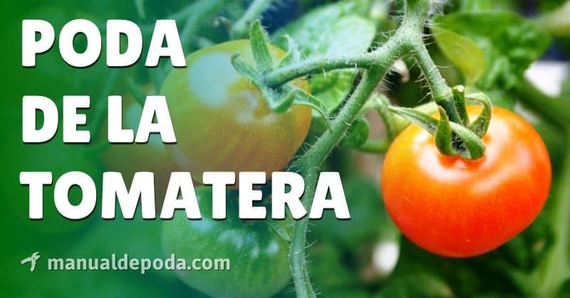 Cómo Podar Tomates - Manual de Poda