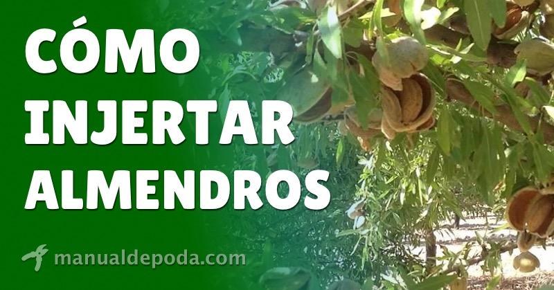 Cómo Injertar Almendros【Guía Completa 2021】