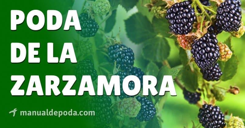 Poda de la Zarzamora, ¿cuándo y cómo podar?