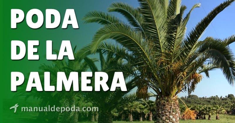 Cómo y cuándo podar las palmeras【Guía 2021】