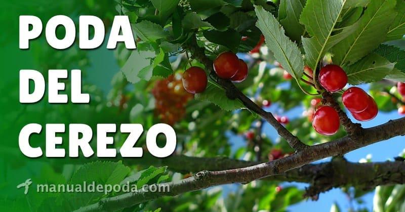 Poda del Cerezo - Cómo podar los cerezos de forma correcta
