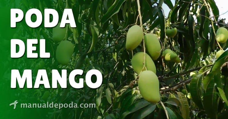 Poda del Mango【Cómo podar mangos en 2021】