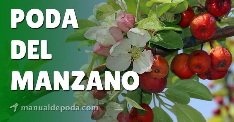 Poda del Manzano: ¿Cuándo y cómo podar los manzanos?