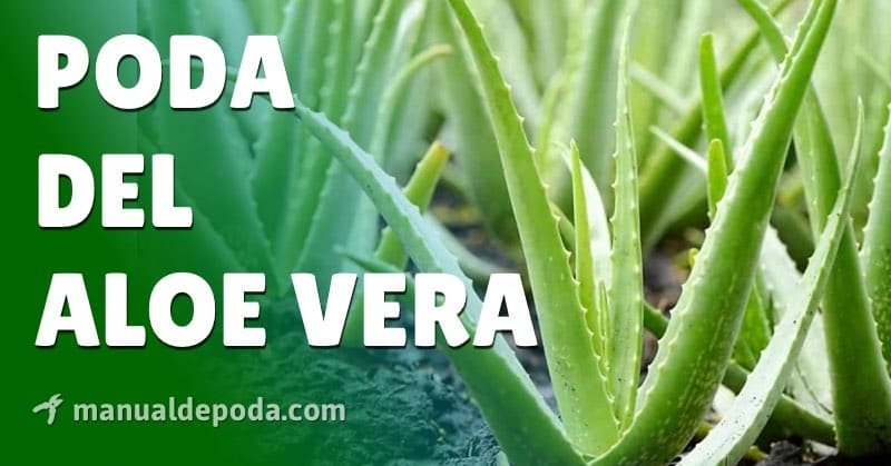 Poda del Aloe vera【Guía Práctica 2021】