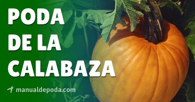Poda de la Calabaza - ¿Cuándo y cómo podar?