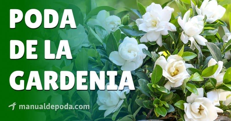 Poda de la Gardenia: ¿Cuándo y cómo podar?