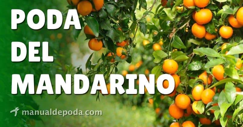 Poda del Mandarino【Manual de Poda 2021】
