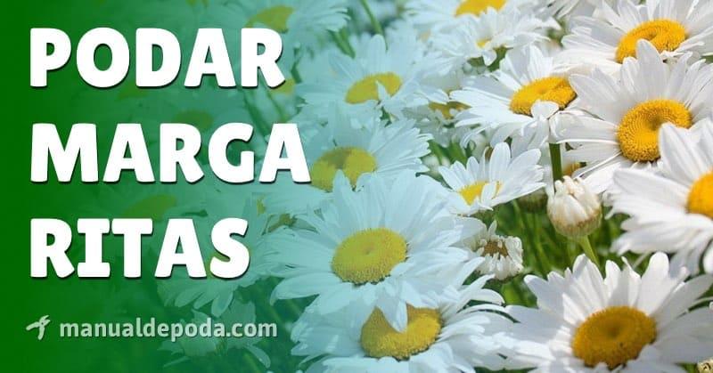 Poda de la Margarita, Cómo y cuándo podar las margaritas