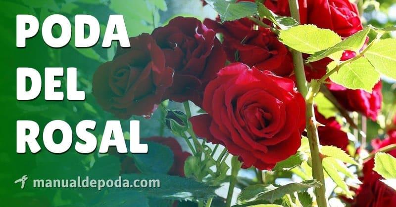 Poda del Rosal【Guía Práctica 2021】